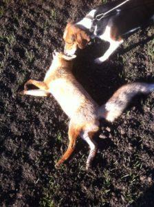 охота на лису маныч